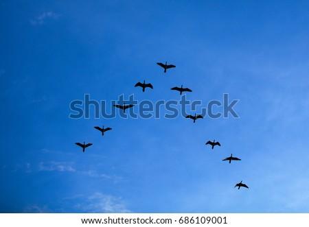 Group of birds flying V shape over blue sky, Flock of bird flying in V-formation Stock fotó ©