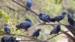 Group of birds sitting on a tree. Pigeon family in the wild.