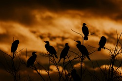 group of birds wait at sunset in the Cormorants roost. grupo de aves esperan al atardecer en el dormidero Cormoranes