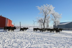 Group of Black Angus feeder calves running through the snow.