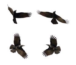 Group of black crow flying on white background. Animal. Black Bird.
