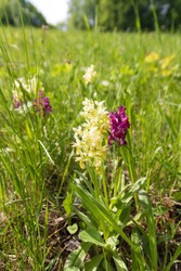 Group of blooming orchid flowers in mountain meadow. Mixed yellow and purple forms of elder-flowered orchid (Dactylorhiza sambucina) in Bile Karpaty nature reserve, Czech Republic. Selective focus.