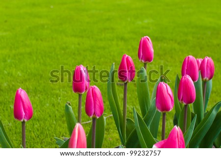 group of blooming red tulips against a background of grass - stock photo