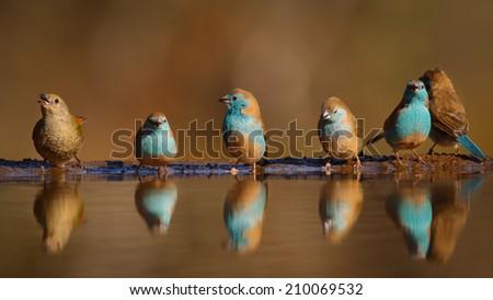 Group of blue birds with one odd bird at still pond