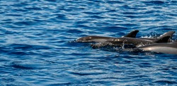 Group of bottlenose dolphins swim quietly to the side of the boat, in the Maldives.