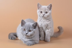 group of british shorthair kittens of tortoiseshell color of blue-cream and lilac-cream color on a beige background
