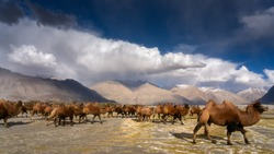 Group of brown camel drinking water beside the river in dusty Nubra valley dune with majestic mountain peak, cloudscape and blue sky with vast sand dune background.