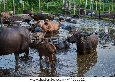 Group of buffaloes and cows in rural farm. Water Asian buffalo in corral. Animal for help work in rice field. Ecology farm. Cattle pen, domestic animal, livestock in rural farm. Countryside, rural. #744038011