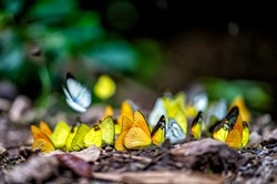 Group of butterflies puddling on the ground and flying in nature, Thailand Butterflies swarm eats minerals in Ban Krang Camp, Kaeng Krachan National Park at Thailand Many butterfly species
