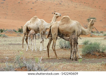 Group of camels and their baby calves wondering Wadi Sumayni in Oman, Middle East