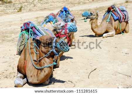 Group of camels in tour for Tunisian land