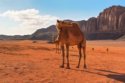 Group of camels, one large animal in foreground, walking on orange red sand of Wadi Rum desert, mountains background