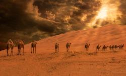 Group Of Camels walking in liwa desert Al Gharbia  in Abu Dhabi UAE