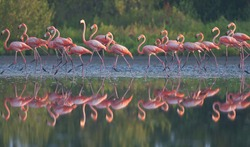 Group of caribbean flamingo is standing in water with reflection. Cuba. An excellent illustration.