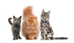 Group of cat, Maine Coon, Persian kitten, Chartreux cat, in front of white background