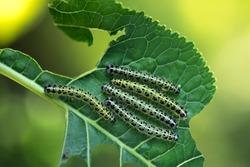 Group of caterpillars Pieris brassicae eats leaves of young horseradish
