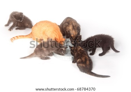 Group of cats and kittens drinking milk from a pan on white background