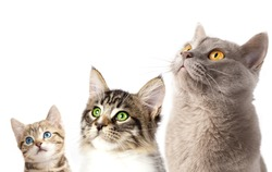 Group of 3 cats close-up portrait look up