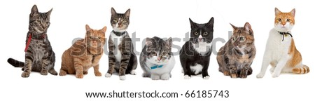 Group of cats,European Short hair, in front of a white background