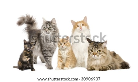 Group of 5 cats in a row : Norwegian, Siberian and persian cat in a row in front of a white background