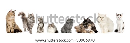 Group of cats in a row : Norwegian, Siberian and persian cat in a row in front of a white background
