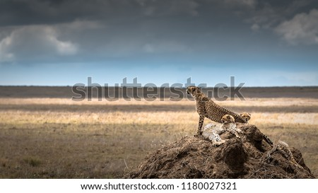 Group of cheetahs in the Serengeti National Park. Africa. Tanzania.