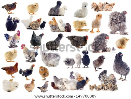 group of chicken and roster on a white background