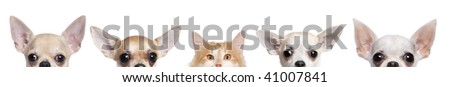 Group of Chihuahua dogs and cat in front of white background, studio shot - stock photo