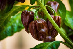Group of chocolate habanero peppers (Capsicum chinense) on a habanero plant. Chocolate brown hot chili peppers. Tasty paprika, one of the hottest pepper on the world.