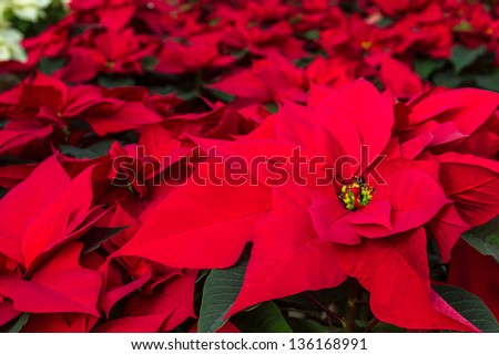 Group of Christmas red poinsettia plants