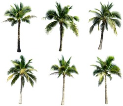 Group of coconut tree isolated on the white background. The collection of coconut trees.
