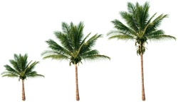 Group of coconut trees isolated on white background.