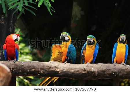Group of colorful macaws on log.[ Scarlet Macaw and Three Blue-and-yellow Macaws]