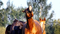 Group of colorful stallions outside in the pasture with flehmen response. Funny animal portrait.