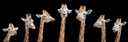Group of comical African giraffes isolated on black background. Each face has a different angle and expression.