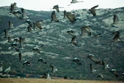 Group of common cranes (Grus) at stopover during winter migrating in Laguna de Gallocanta, Aragon, Spain..