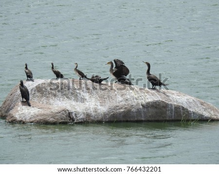 Group of Cormorant (Shags) Birds on a big Rock surrounded by water in a sunny afternoon. Beautiful Avians at the lake #766432201