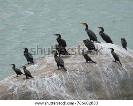Group of Cormorant (Shags) Birds on a big Rock surrounded by water in a sunny afternoon. Beautiful Avians at the lake #766602883