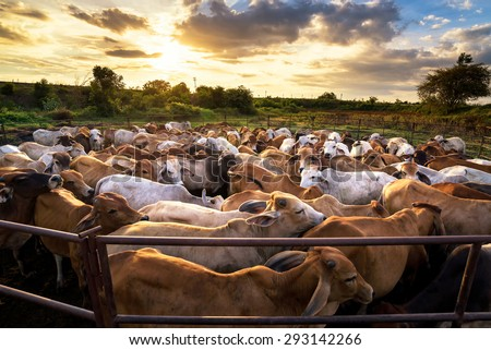 Shutterstock group of cow in cowshed with beautiful sunset scene