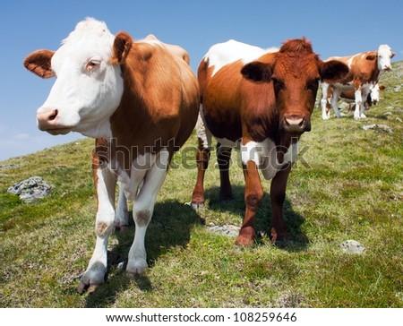 group of cows (bos primigenius taurus) in alps on pasture