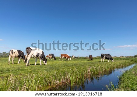 Group of cows grazing in a green in a pasture bordered by a ditch, a panoramic wide view Stockfoto ©