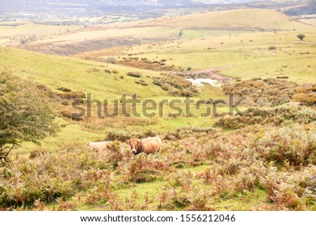 group of cows grazing on large green pastures - domestic animal concept #1556212046