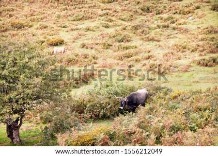 group of cows grazing on large green pastures - domestic animal concept #1556212049