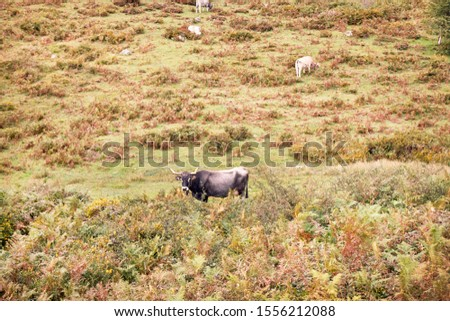 group of cows grazing on large green pastures - domestic animal concept #1556212088