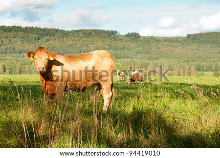 Group of Cows Standing in Green Pasture