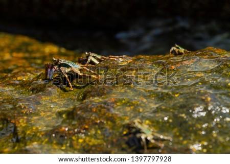 Group of crabs on wet stones. Arthropods on seaside. #1397797928