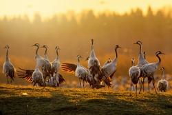Group of cranes at sunrise in morning light at Hornborgarsjon, Sweden