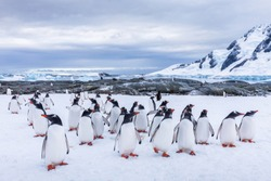 Group of curious Gentoo Penguin staring at camera in Antarctica, creche or waddle of juvenile seabird on glacier, colony in Antarctic Peninsula, snow and ice landscape