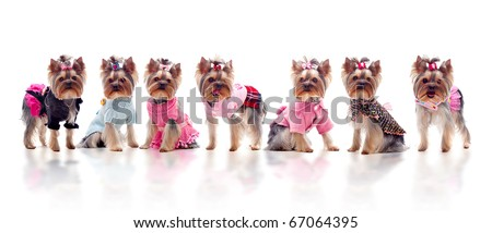 Group of 7 cute dressed yorkshire terriers over the white background