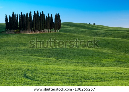 Group of cypresses, San Quirico d�´Orcia, Tuscany, Italy